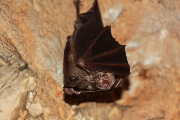 Bat hanging from ceiling in Tito's Caves in Stari Grad on Hvar Island, Croatia