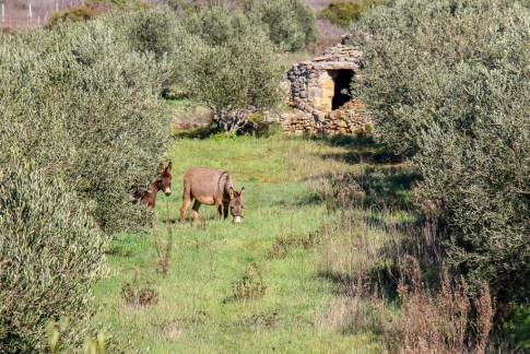 Grazing donkeys on Stari Grad Plain in Stari Grad on Hvar Island, Croatia