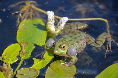 Frog in pond at University Botanical Garden in Strasbourg, France