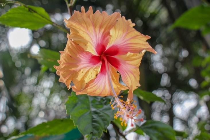 Hibiscus, Perdana Botanical Garden, Kuala Lumpur, Malaysia