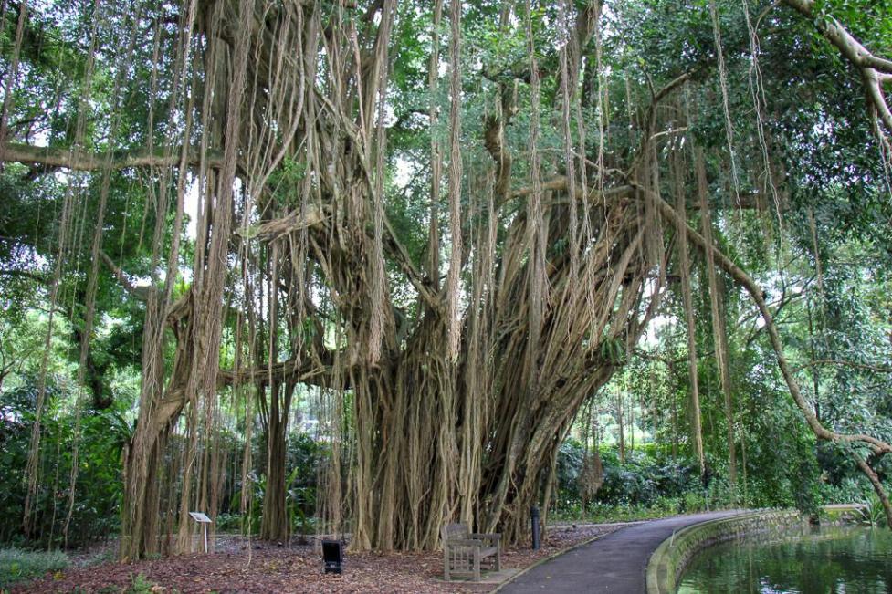 Big tree at Botanical Gardens in Singapore