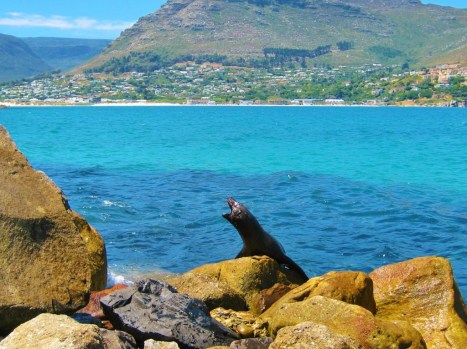 Barking sea lion at Hout Bay in Cape Town, South Africa