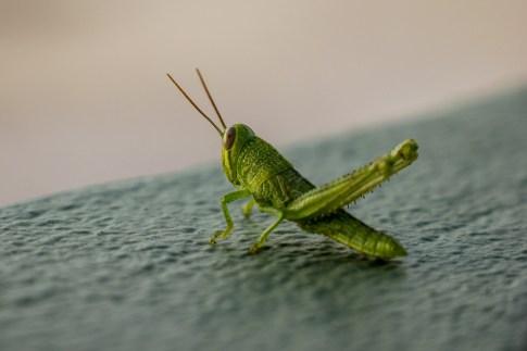 Grasshopper at Kamala Beach on Phuket, Thailand