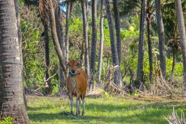 Cow stands near beach in Canggu, Bali, Indonesia