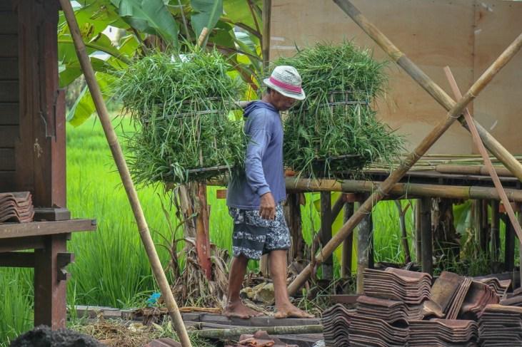 Man carries bushel of rice in Canggu, Bali, Indonesia