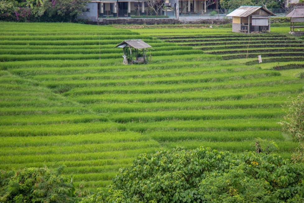 Rice paddies in Canggu, Bali, Indonesia