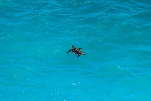Sea turtle swimming in pale blue water on Nusa Ceningan, Bali, Indonesia