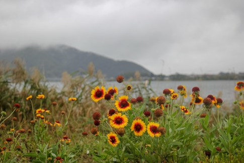 Colorful flowers on gloomy day at Kawaguchiko, Japan