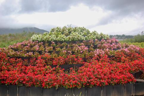 Flowers in bloom at Natural Living Center in Kawaguchiko, Japan