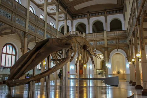 Whale skeleton on display at National Museum of Natural History in Santiago, Chile