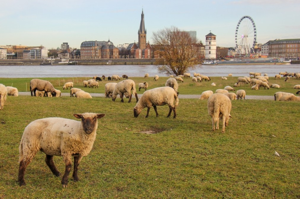 Sheep Spotting, Dusseldorf, Germany