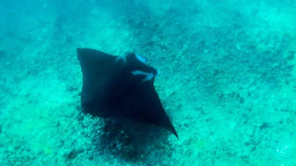 Manta Rays In Komodo