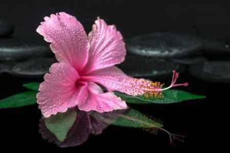 spa concept of pink hibiscus flower on green leaf, zen basalt st