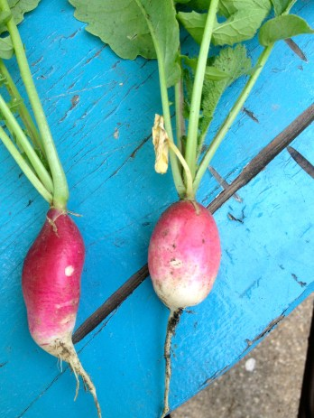 My first radishes :)