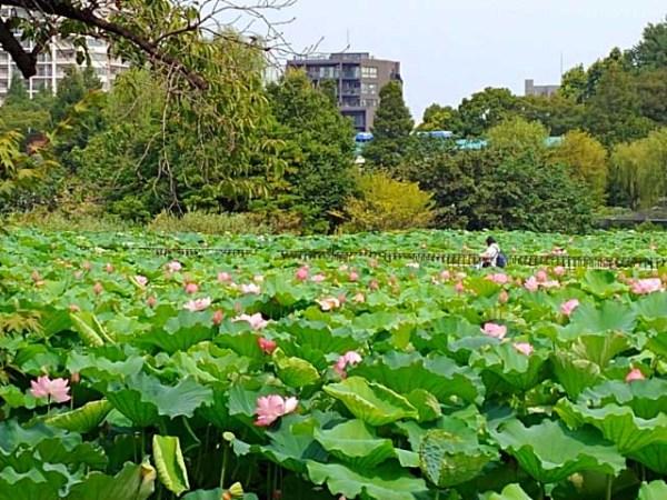 蓮の花咲く上野・不忍池