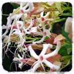 ジャスミンのように香るクサキの花