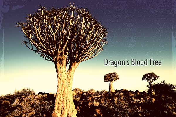 ドラゴンブラッドツリー