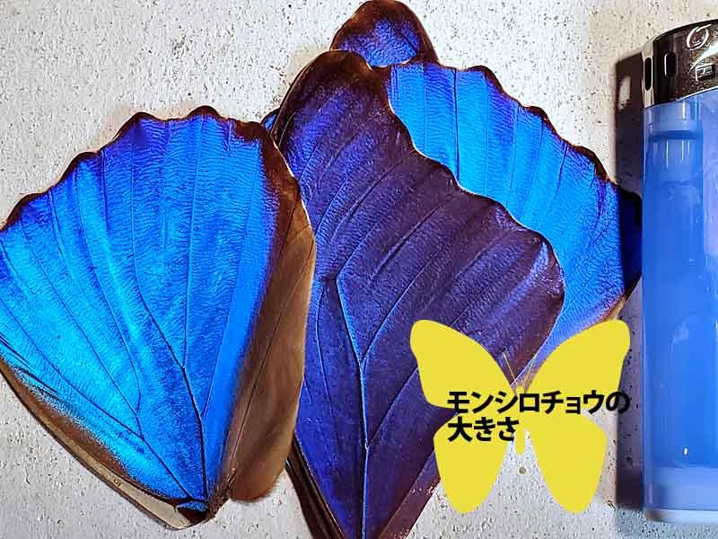 モルフォ蝶の羽のサイズ