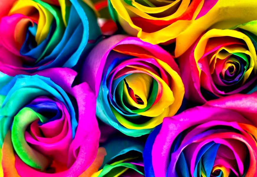 Flowers to dye for  How to make rainbow roses     Jewish Journal