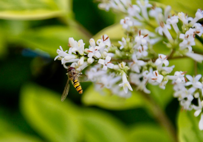 Hover Fly by Jez Braithwaite