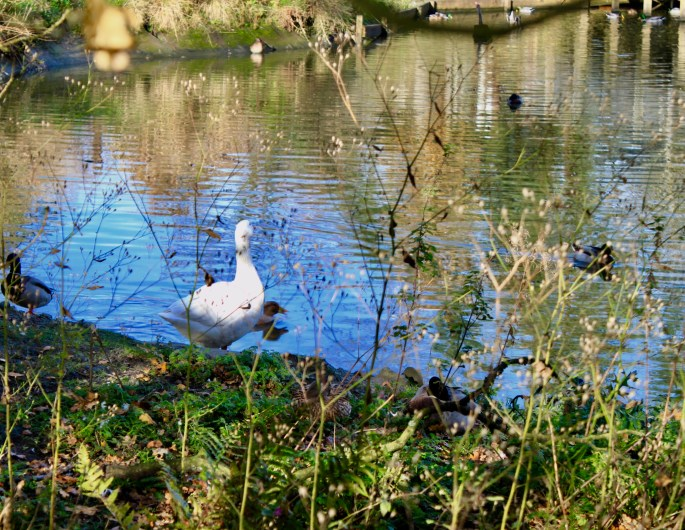 Goose at Palacerigg Country Park by Jez Braithwaite