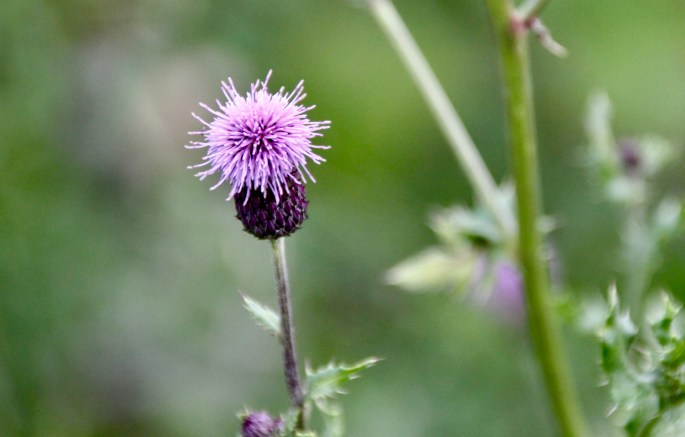 Thistle by Jez Braithwaite