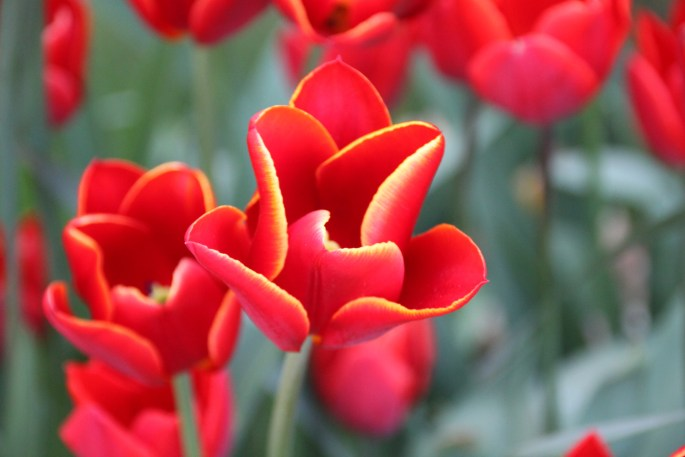 Red tulips by Jez Braithwaite at Glasgow Botanic Gardens