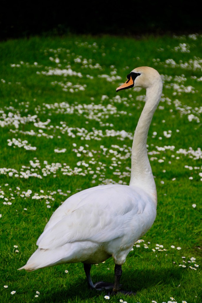 Swan at Broadwood Loch by Jez Braithwaite