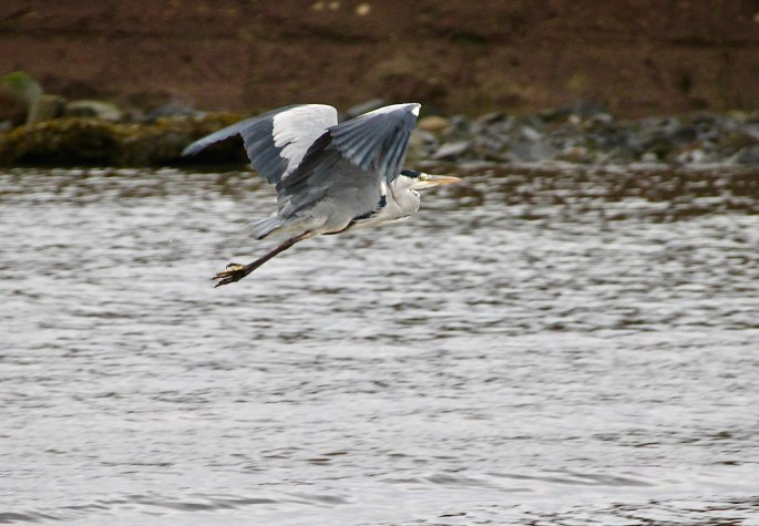 Great Blue Heron in flight by Jez Braithwaite in Arbroath harbour