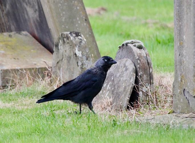 Jackdaw in Arbroath Abbey cemetery by Jez Braithwaite