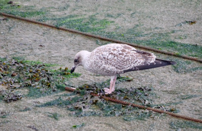 Young Seagull on slipway by Jez Braithwaite