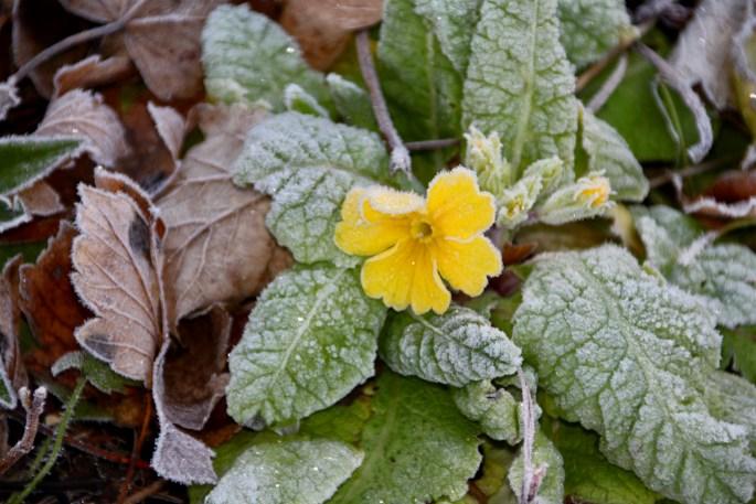 Frosty yellow primrose by Jez Braithwaite