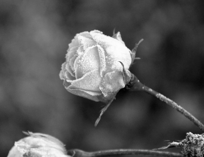 Monochrome frosty rose by Jez Braithwaite