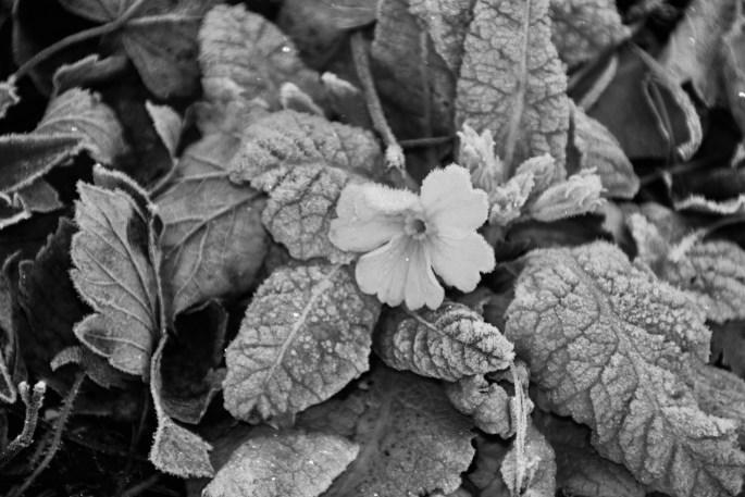 Monochrome frosty yellow primrose by Jez Braithwaite