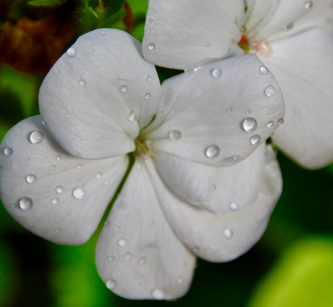 White geranium by Jez Braithwaite