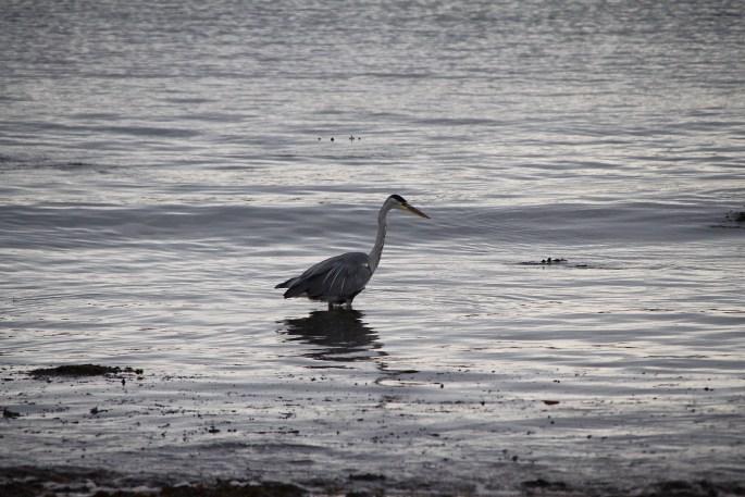 Heron by Jez Braithwaite