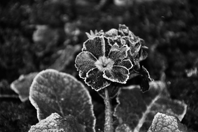 Frosty Purple Pansy in monochrome by Jez Braithwaite