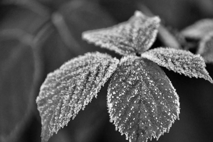 Icy leafs in monochrome by Jez Braithwaite