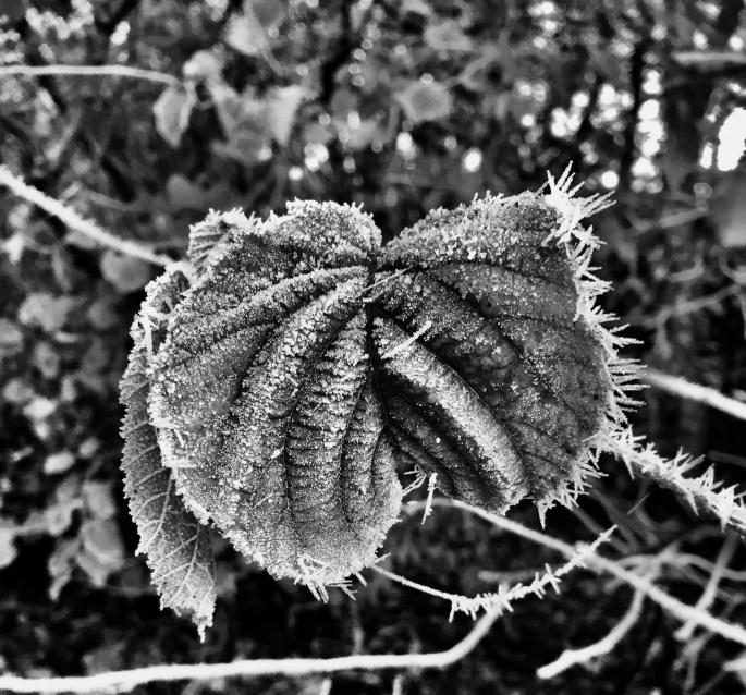 Icy Leaf in noir by Jez Braithwaite