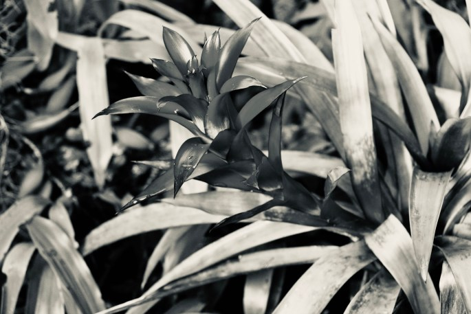 Bromelia in silvertone by Jez Braithwaite