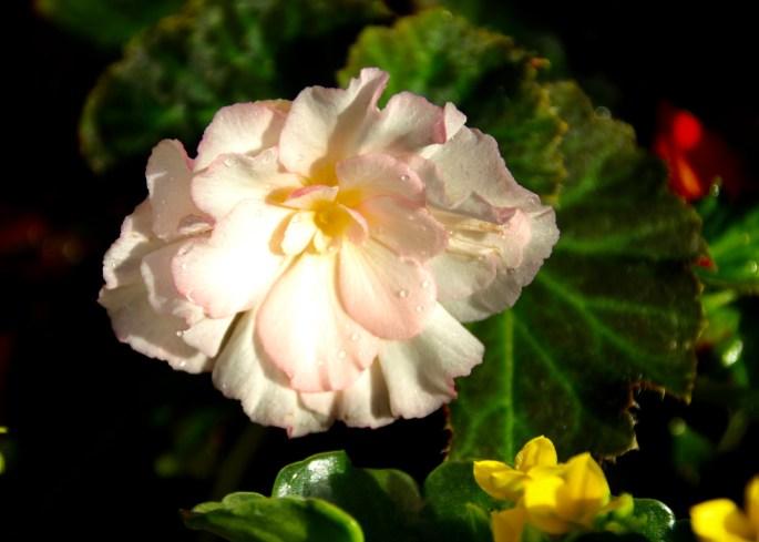 Pale pink begonia
