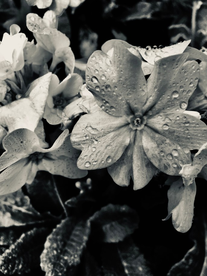 White primrose in silvertone by Jez Braithwaite
