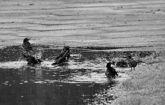 Starling bath by Jez Braithwaite