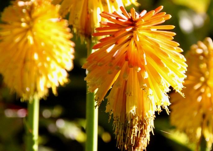 Torch lily by Jez Braithwaite