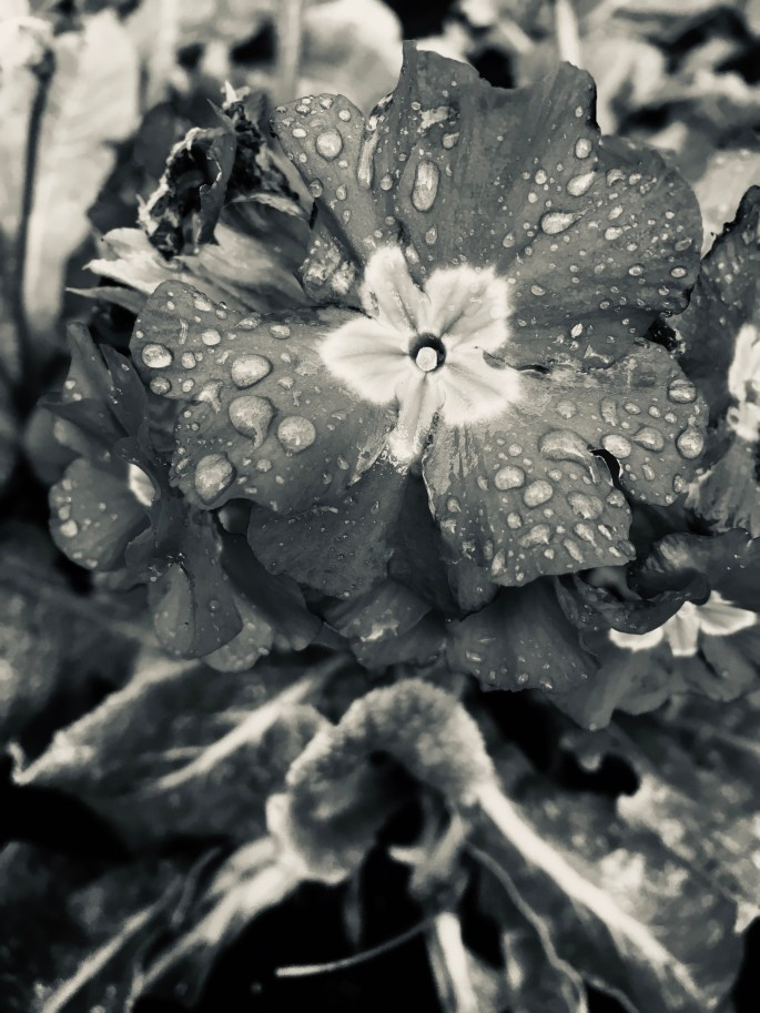 Primrose in Silvertone by Jez Braithwaite