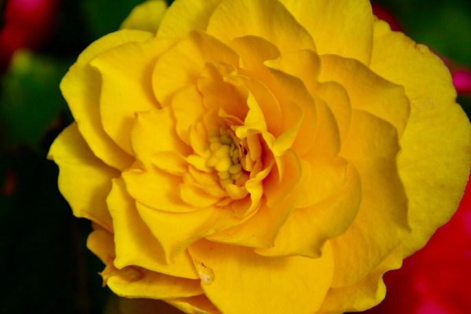 Yellow begonia