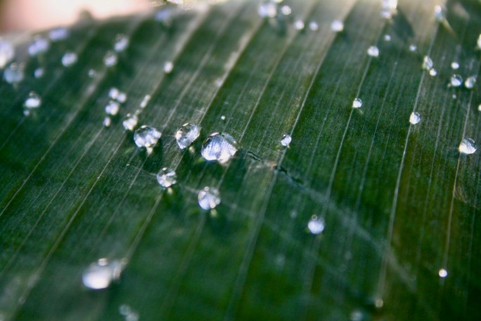 Water droplets on a palm leaf