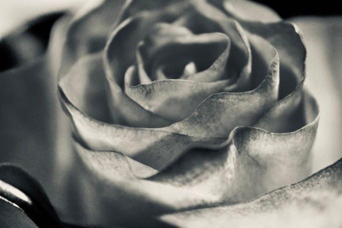 Rose in silvertone