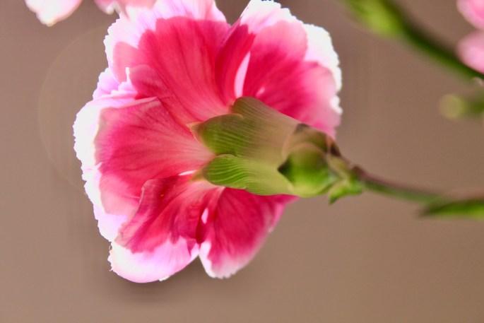 Carnation back