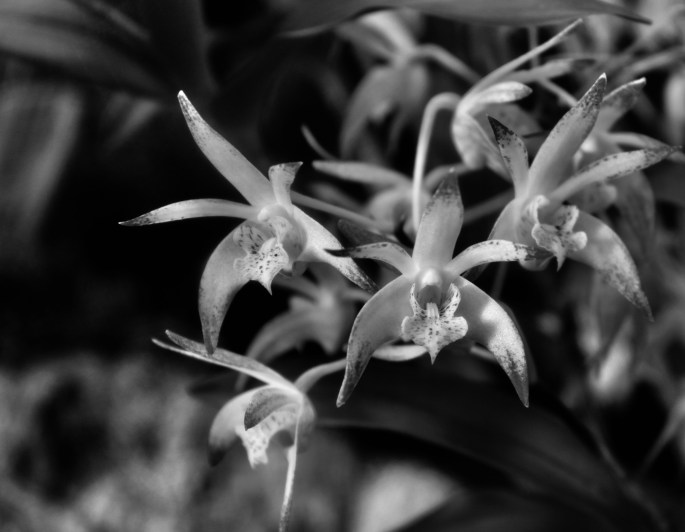 Orchids in noir
